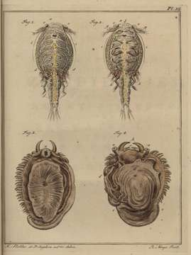 Image of Sea lice