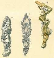 Image of Reophacidae Cushman 1927