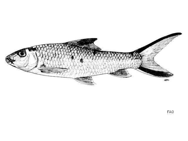 Image of carps and minnows