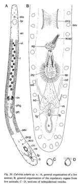 Image of Calviriidae