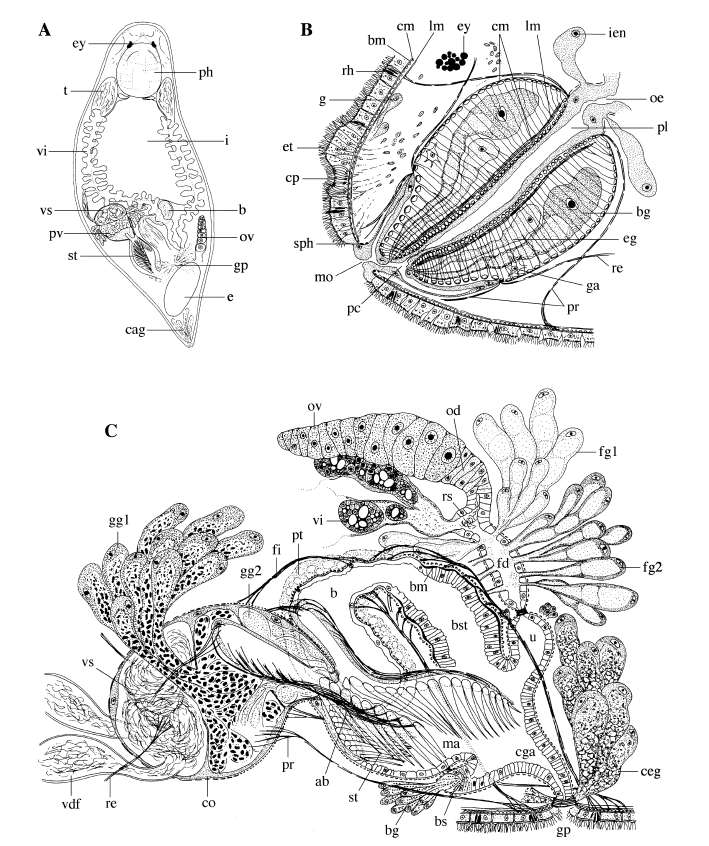Image of Pseudodalyellia