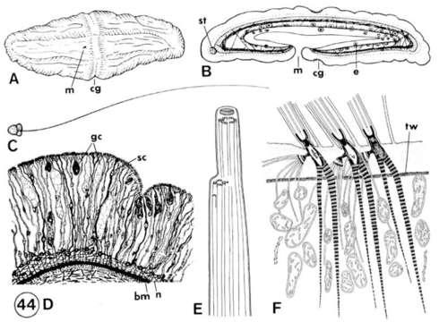 Image of xenoturbellid worms