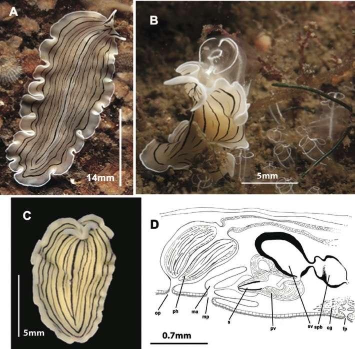 Image of Prostheceraeus