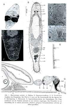 Image of <i>Macrostomum astericis</i> Schmidt & Sopott-Ehlers 1976