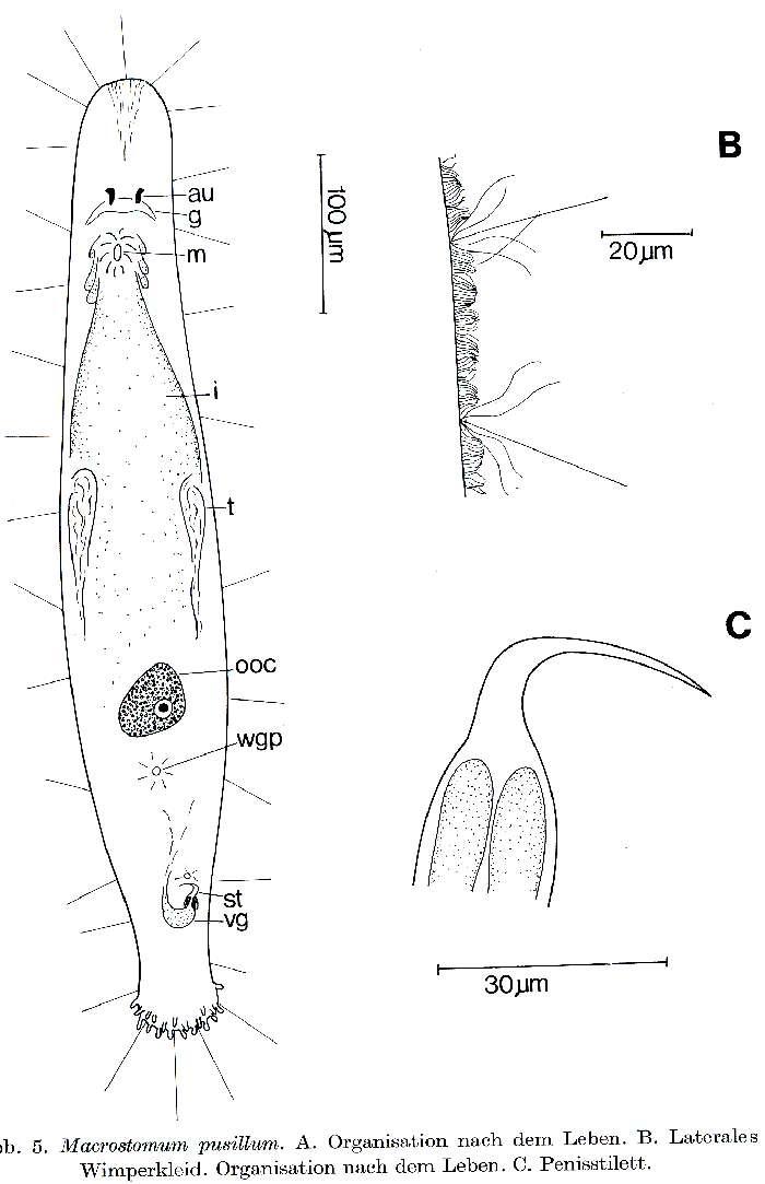 Image of Archimacrostomum