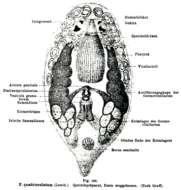 Image of Pseudostomidae