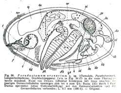 Image of <i>Pseudostomum arenarium</i> Meixner 1938