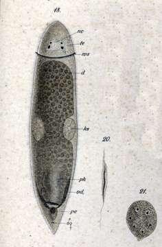 Image of <i>Cylindrostoma monotrochum</i> (Graff 1882)