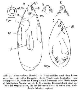 Image of Monotoplanidae