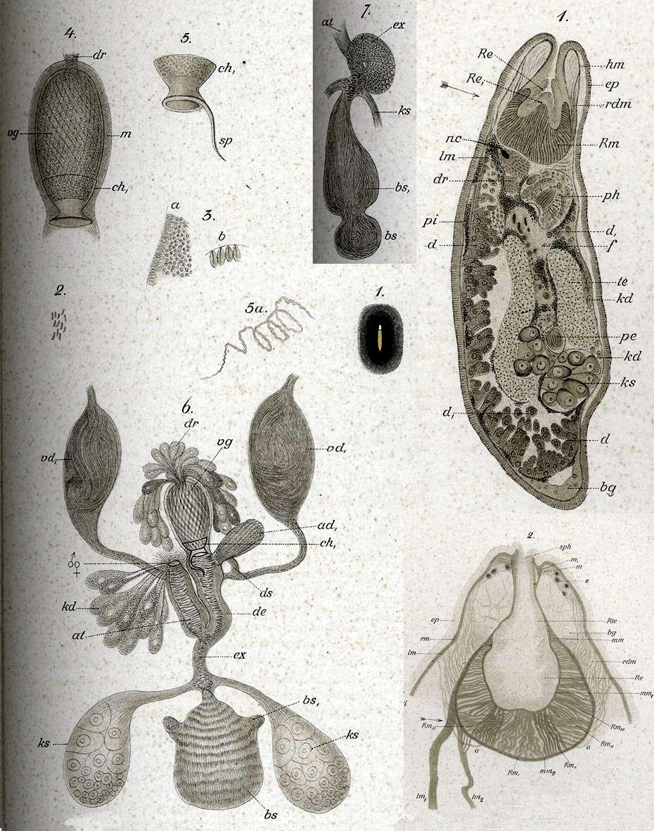 Image of Polycystis