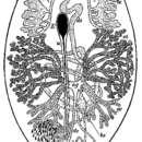 Image of <i>Syndesmis echinorum</i> Francois 1886