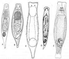 Image of Dalyelliidae