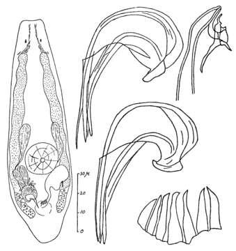Image of <i>Proxenetes flabellifer</i> Jensen 1878