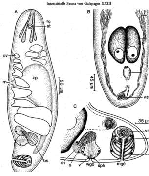 Image of <i>Pseudmecynostomum pellucidum</i> Ehlers & Dörjes 1979