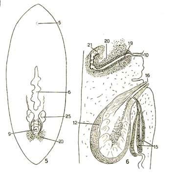 Image of Cryptoceloidea