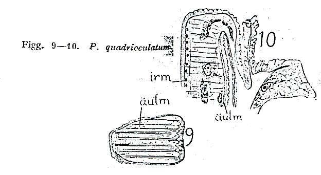 Image of Pseudostomum