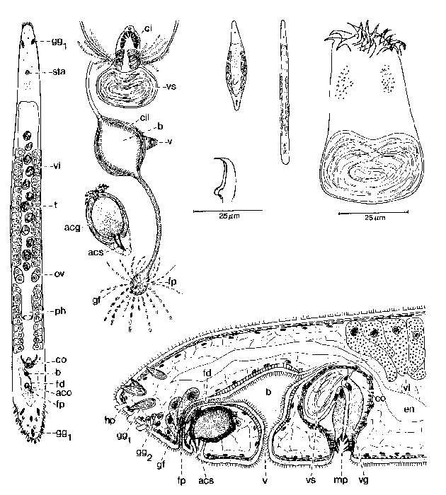 Image of Duploperaclistus