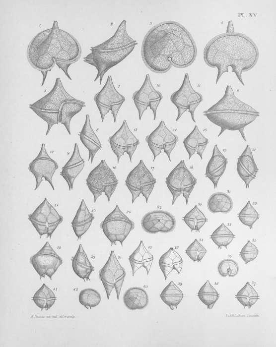 Image of dinoflagellates