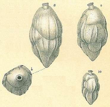 Image of Uvigerininae Haeckel 1894
