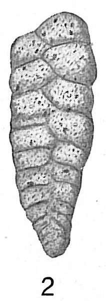 Image of <i>Textularia sagittula</i> Defrance 1824