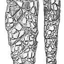 Image of <i>Textularia skagerakensis</i> Höglund 1947