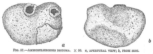 Image of Recurvoidoidea Alekseychik-Mitskevich 1973
