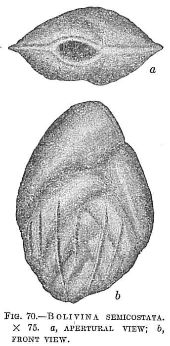 Image of <i>Bolivina semicostata</i> Cushman 1911