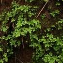 Image of <i>Selaginella goudotiana</i> var. <i>abyssinica</i> (Spring) Bizzarri