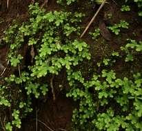 Image of <i>Selaginella goudotiana</i> Spring