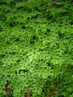 Image of <i>Selaginella goudotiana</i> Spring