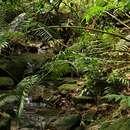 Image of <i>Ptisana salicifolia</i> (Schrad.) Senterre & Rouhan