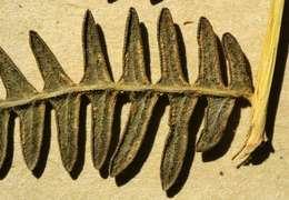Image of brackenfern