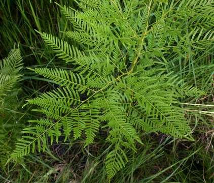 Image of <i>Pteridium centraliafricanum</i> (Hieron. ex R. E. Fries) Alston