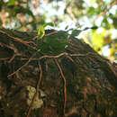 Image of <i>Microgramma mauritiana</i> (Willd.) Tard.
