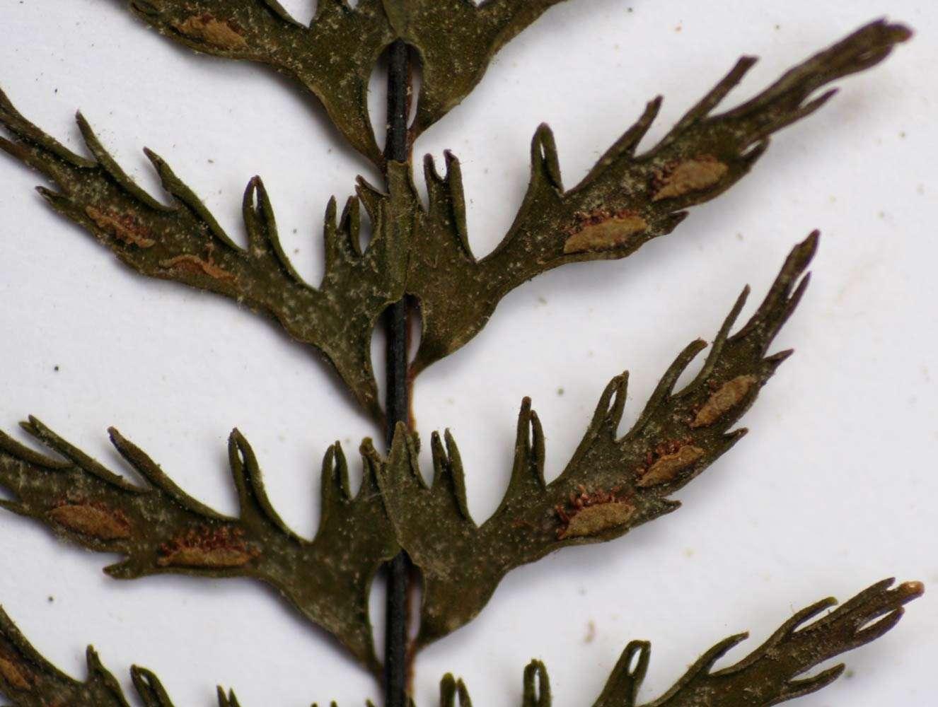 Image of showy spleenwort