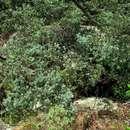 Image of Broad-leaved Yellowwood