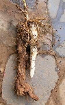 Image of bush yam