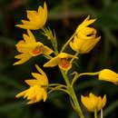 Image of <i>Eulophia odontoglossa</i> Rchb. fil.