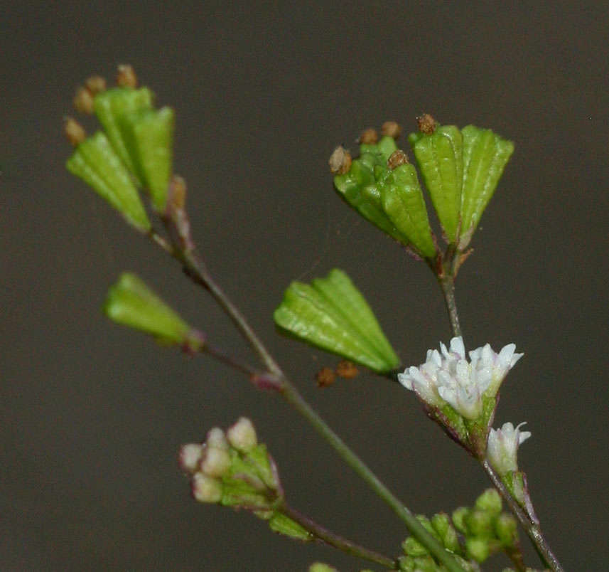 Image of spiderling
