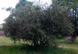 "Image of ""Order: Roses, Figs, Nettles & relatives"""