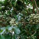 Image of Banket mahogany