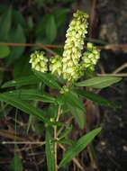 Image of <i>Polygala albida</i> Schinz