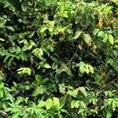 Image of <i>Dichapetalum <i>madagascariense</i></i> Poir. var. madagascariense