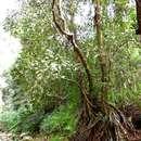 Image of Stilt-root mahobohobo