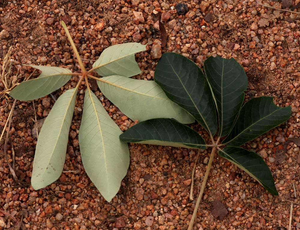 Image of spurge family