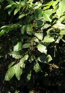 Image of Aporrhiza