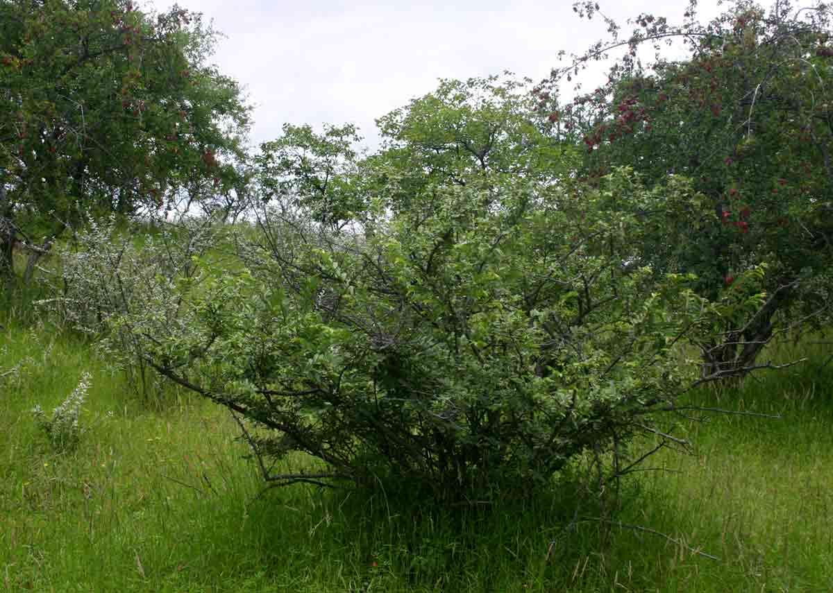 Image of grewia