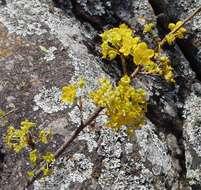 Image of Granite ochna