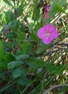Image of evening primrose