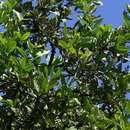 Image of Batoka jackal-berry